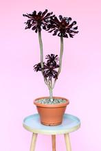 Aeonium Plant In Pot, Against Pink Background