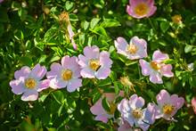 Dog Rose (rosa Canina) Flowers...
