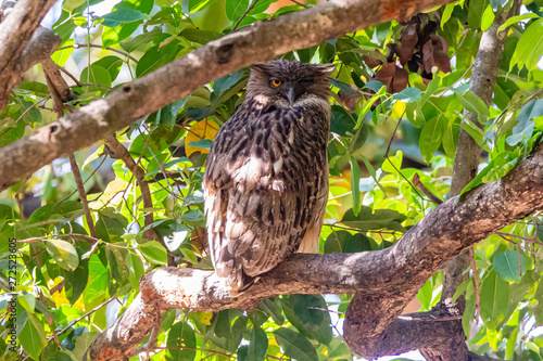 Photo Bandhavgarh National Park, India - Brown Fish-owl (Bubo zeylonensis) perched on