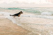 german shepherd dog running into ocean