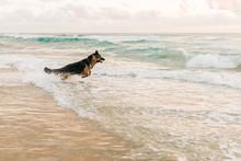 German Shepherd Dog Running In...