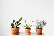 Three Potted Cacti