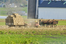 Amish Family Harvesting The Fi...