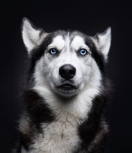 Portrait Of A Husky With Blue Eyes