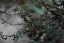 Bush With Red Berries (Cotoneaster)