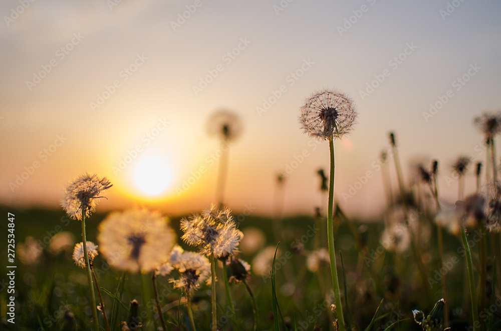 Fototapety, obrazy: Yellow little flowers dandelions grow outdoors