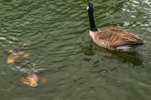Canada Goose And Koi Carp Swim...