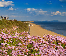 Pink Thrift Grows In Large Clumps On The Cliff Top At Bournemouth
