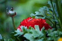 Red Ranunculas Growing In Garden Against Green
