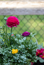 Multi Colored Ranunculas Growing In Garden