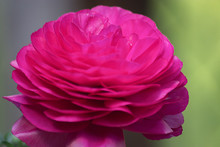 Bright Pink Close Up Of Ranunculas In Spring