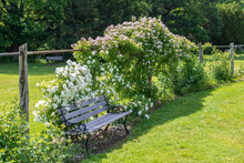 White And Pink Climbing Roses Near A Wooden Bench