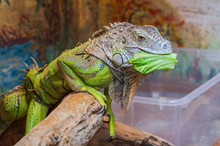 Exotic Green Iguana Eating Leaf