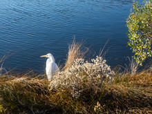 Snowy Egret In Profile At Chincoteague NWR