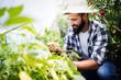 Leinwandbild Motiv Caucasian farmer picking paprika from his hothouse garden