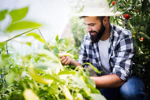 obraz dibond Caucasian farmer picking paprika from his hothouse garden
