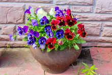 """Violets """"Pansy"""" In A Cast-iron Pot. Violet , Or Pansies, Or Viola Is A Herbaceous Annual Or Biennial (occasionally Perennial) Plant Common In Europe And Temperate Regions Of Asia."""