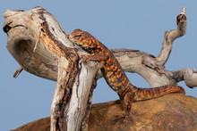 Saharan Spiny Tailed Lizard (Uromastyx Geyri)