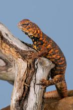 Saharan Spiny Tailed Lizard (U...
