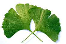 Leaves Of Maiden Hair Tree. Ginkgo Biloba