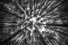 Looking Up At The Forrest In Winter, Black And White Landscape P