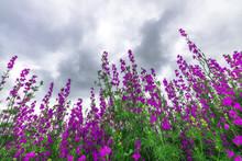 Purple Weed Wildflower, Low Angle