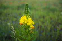 Evening Primrose (Oenothera Bi...