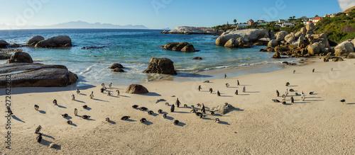 Fototapeta  African penguin, black-footed penguin or jackass penguin (Spheniscus demersus) colony at Boulders Beack