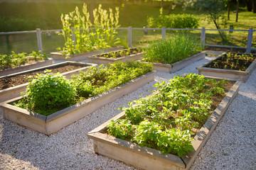 Wspólny ogród kuchenny. Podniesione łóżka ogrodowe z roślinami w ogrodzie warzywnym.
