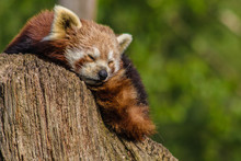 Close Up Head Shot Of A Red Panda, Ailurus Fulgens, Resting In The Sun After His Meal