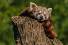Close Up Head Shot Of A Red Panda, Ailurus Fulgens