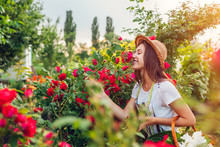 Young Woman Gathering Flowers In Garden. Girl Smelling And Admiring Roses. Gardening Concept