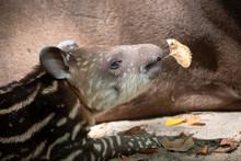 Beautiful Striped Wild Tapir B...