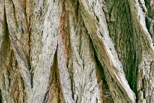 A Fragment Of The Bark Of The ...
