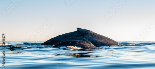 Fotografie, Obraz  Back of Humpback whale mother and baby cub