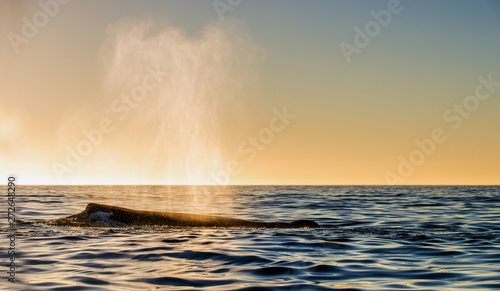 Photo  The whale shows the fountain of steam at sunset sky background