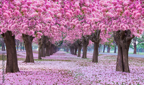 Fotografia, Obraz Pink trumpet tree with pink flower blooming tunnel on the morning