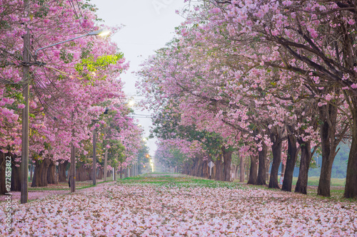 Poster Rose clair / pale Pink trumpet tree with pink flower blooming tunnel on the morning.