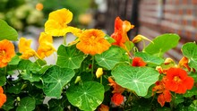 Yellow And Orange Nasturtium F...