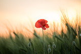 A poppy flower among a field of green cereal ears at sunset. Art photo. - 272656209