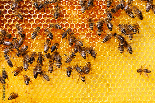 Bees on honeycomb Canvas Print
