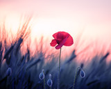 A poppy flower among a field of green cereal ears at sunset. Art photo. - 272656826
