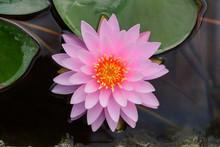 Pink Lotus Flower At Garden