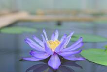 Purple Lotus Flower At Garden