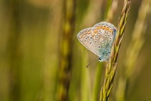 Fragile Blue Butterfly With Orange, Brown, White And Blue Colors And Black Spots Sitting Upside Down On A Piece Of Green Grass. Sunny Summer Day In Nature. Blurry Background.