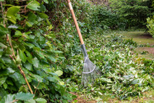 Cutting A Hornbeam Hedge. A Ra...