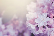 Fantasy Lilacs Flowers Close-up On Blurred Background With Soft Focus Effect And Copy Space. For This Photo Applied Blurring.