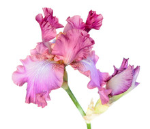 Pink Iris Flower Close-up Isolated On White Background. Cultivar From Tall Bearded (TB) Iris Garden Group