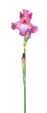 Pink Iris Flower With Long Stem And Green Leaf Isolated On White Background. Cultivar From Tall Bearded (TB) Iris Garden Group
