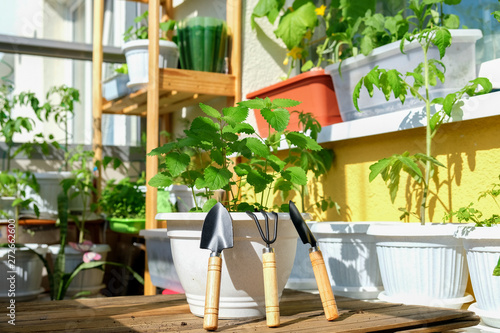 Fotografia Mint in a pot with garden tools prepared for planting on the balcony in natural